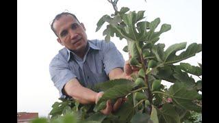 هعلمكم بـ 3 خطوات سهلة لشجرة التين هتاخد ثمار كثيرة وذات احجام كبيرة وبدون دود : Cultivation of figs