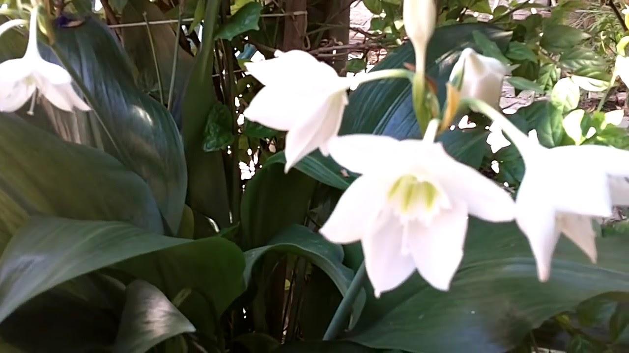 Plantas del interior con flor blanca lirio jardin viveros for Matas de jardin