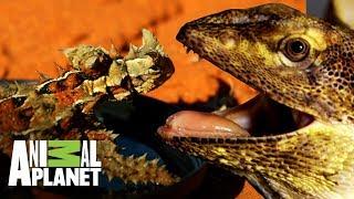 Los reptiles de Australia | Wild Frank: Tras la evolución de las especies | Animal Planet