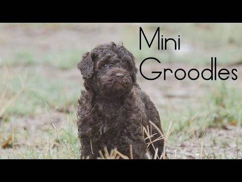 Mini Chocolate Groodle puppies 2016