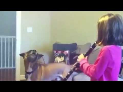 Mr Ed the singing dog's duet with little clarinet player