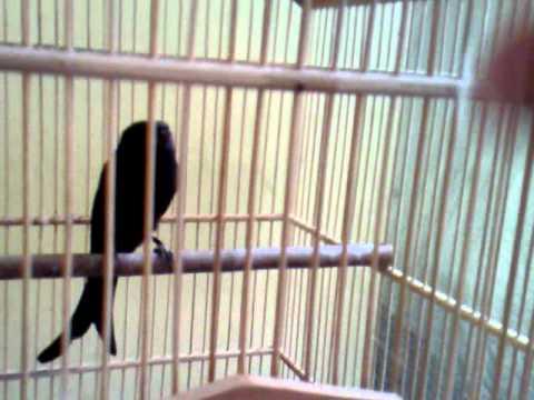 burung srigunting hitam drongo ---jakban-29---