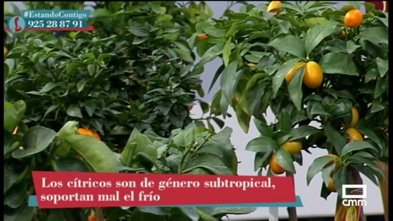 semillas de naranja agria para adelgazar