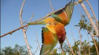 Cara membuat pulut burung  dari oli bekas ?...