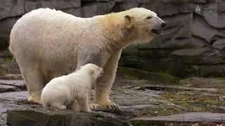Kleine Eisbärin im Tierpark Berlin auf Erkundungstour