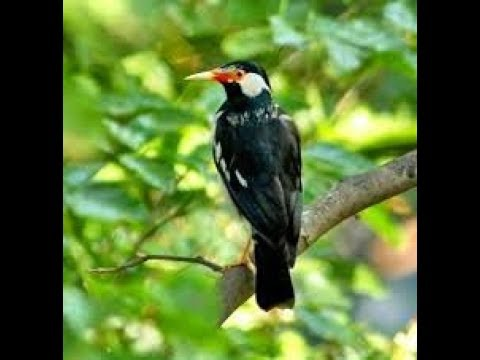 TERBONGKAR !!! Inilah Ciri Ciri Burung Jalak Suren Malaysia