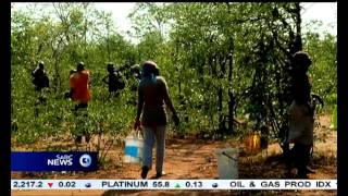 The Kruger National Park allows villagers to harvest Mopani worms
