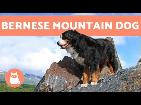 BERNESE MOUNTAIN DOG - Characteristics and Care