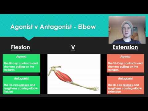 Anatomy 7 Agonist V Antagonist muscle pairs