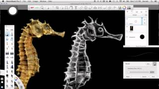 Seahorse speed drawing video