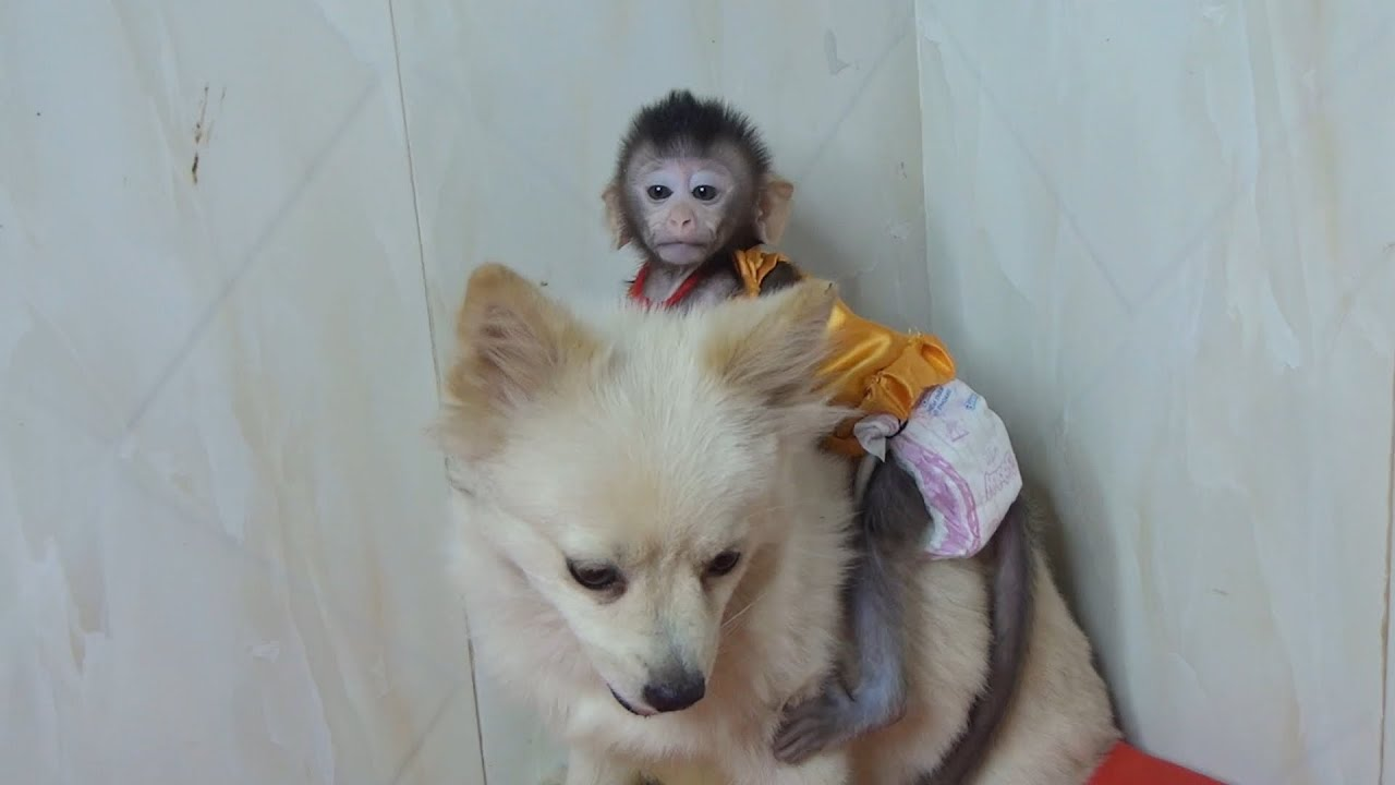 Baby Monkey Nita boarding Sister Because Nita Afraid of dinosaurs