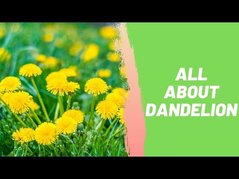 All About Dandelion