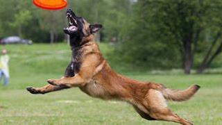 Профессия кинолог. Дрессировка собак видео. Спорт фрисби для собак.