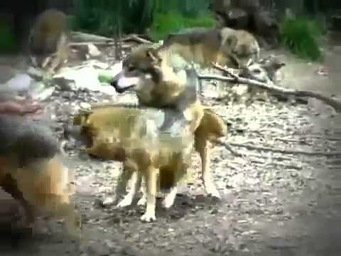 animals attack Lobos Salvajes Apareandos Wolf Bree
