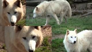 le Chants des Loups la nuit