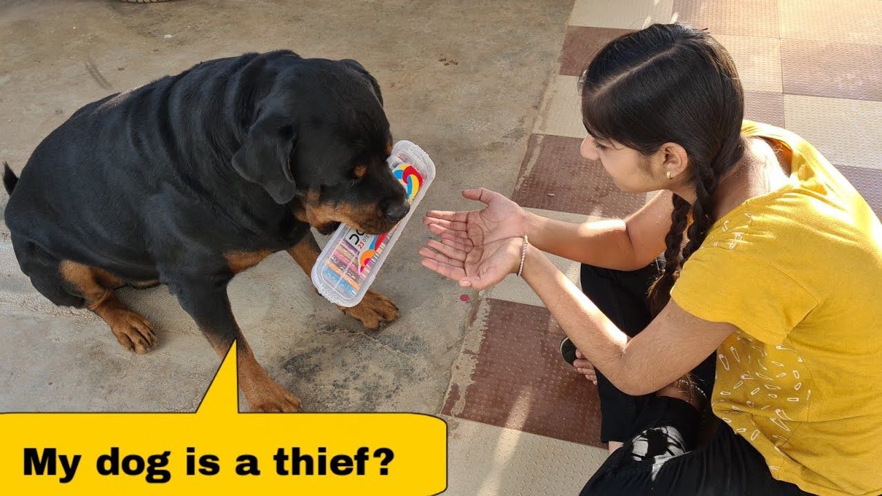 Anshu and Jerry's funny fight||most aggressive rottweiler dog.