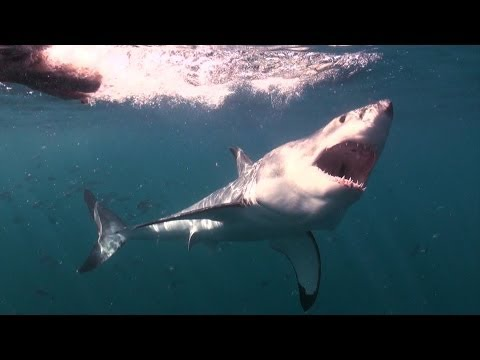 Mad or Brave? Great White Shark Encounter  Deadly 60  South Africa  Series 3  BBC