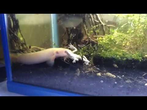 Dragon Fish Eat African Frog