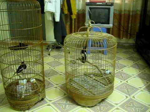 Chim chich choe dinh