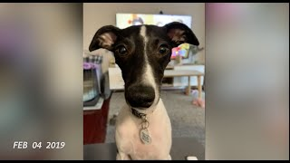 Whippet dog Flo  Back by popular demand for all Whippet lovers  2019 Part 1