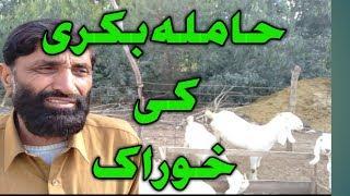 how to take best care of a pregnant goat | hamla bakri ki khurak | Urdu Hindi