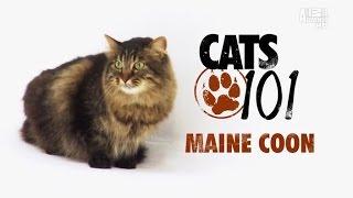 Cats 101 – Maine Coon [RUS]. Введение в кошковедение – Мейн Кун