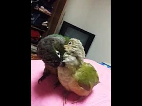 love bird – green cheek conure/parrot/conure/bird/animal