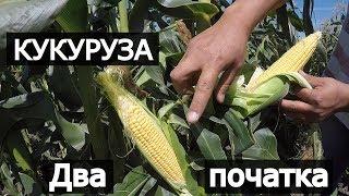сладкая кукуруза дает 2 хороших початка. Мнение фермера. Анджей и Свит Вондер