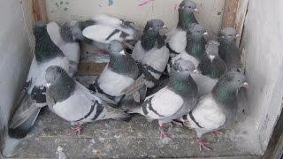 бакинские бойные голуби  (Сергей Афанасьев ( Павлодар, Казахстан ))