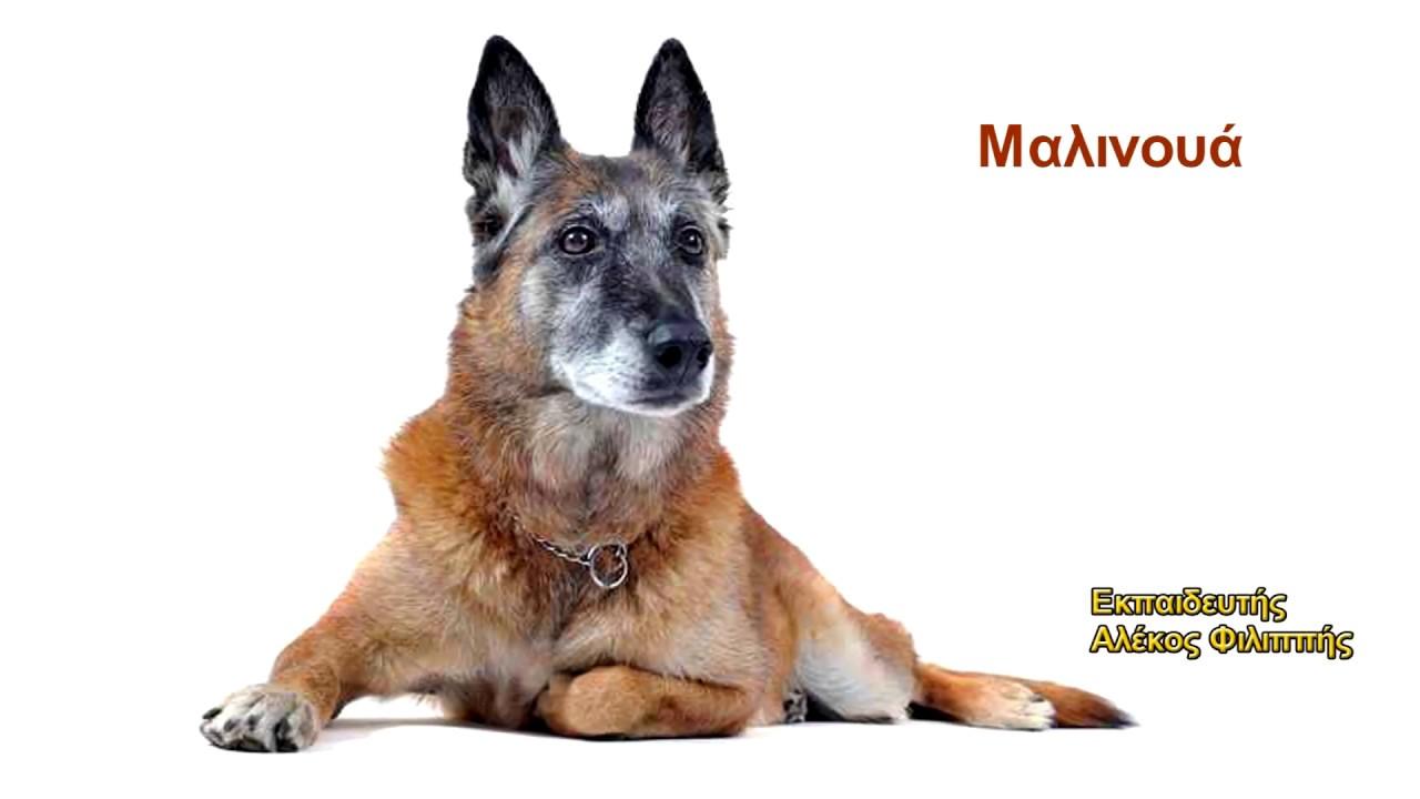 Εκπαίδευση σκύλων Μαλινουά Εύβοια Αλέκος Φιλιππής