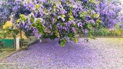 Purple Flowering Tree: Trinidad
