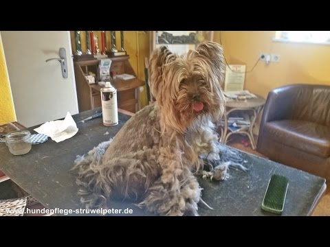 Stark verfilzter Yorkshire Terrier