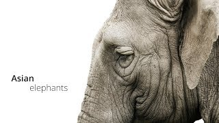 The Asian Elephant: An Endangered Icon