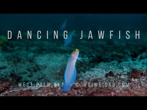 Dancing Jawfish (Diving With Yellow Head Jawfish At Palm Beach)