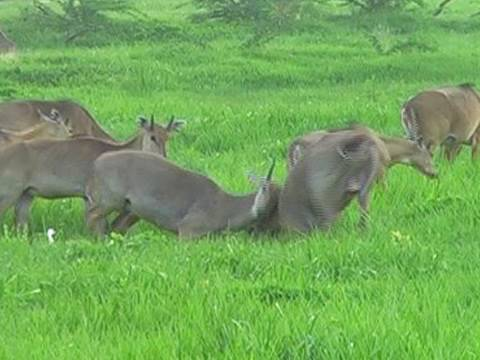 Nilgai herd in Bharatpur National Park