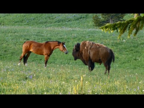 Bison meets horses, Part 2: Nose touch