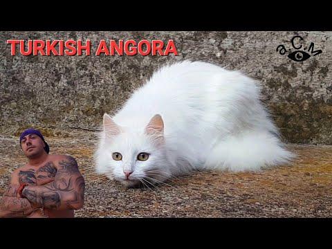 WHITE CAT TURKISH ANGORA  а.С.м