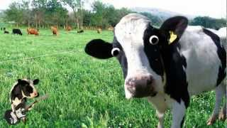 I'm a Cow Song thumbnail