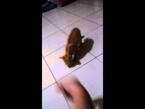 oriental cat new tricks