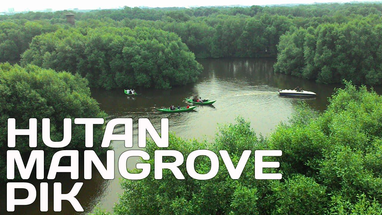 Hutan Mangrove di Pantai Indah Kapuk Jakarta Utara - YouTube
