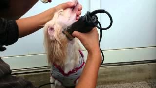 静岡県浜松市で犬のブリーダーをしていますペットのブリーダーワンブー...