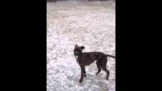 Staffordshire Bull Terrier And Pitbull Boston Terrier Mix