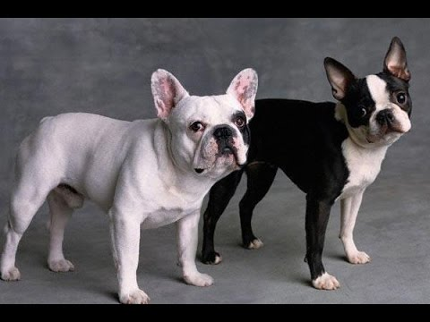 boston terrier and french bulldog french bulldog vs boston terrier dog lovers youtube 9699