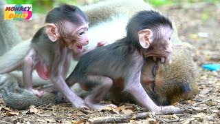 Both adorable activity cute newborn Calino & Opie learn to walk success & happy   Monkey Daily 3327