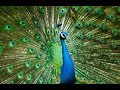 Peacock as a Totem: Personality Characteristics and Life-Path Challenges