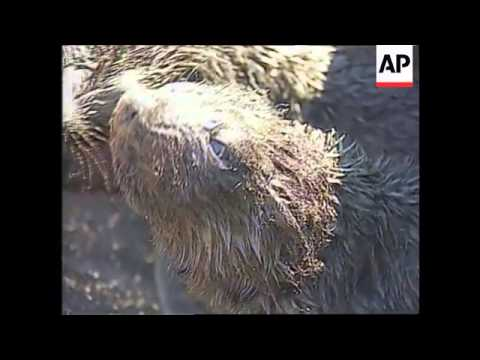 Uruguay - Sea lions threatened by oil slick