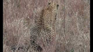 Mating Leopards in Sabi Sands (Arathusa)
