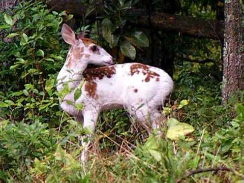 Piebald Beauty Whitetail Deer Edgefield Co Sc Youtube