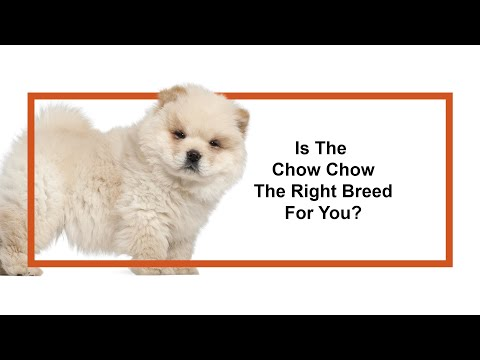 Everything Puppies - Chow Chow Breed Information (2019)