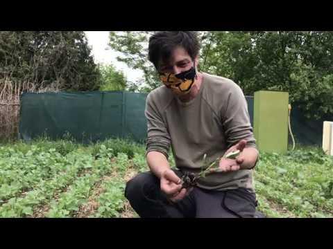 Die Erdnuss wird ausgepflanzt.